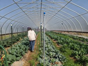"""Phyliss walks the rows of one of her """"hoop houses."""""""