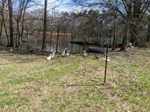 Free range ducks enjoy the pond on Dabhar Farm