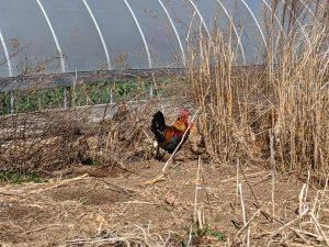 Free range chicken exploring at Dabhar Farm
