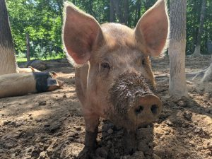One of Red Barn Farm's happy pigs
