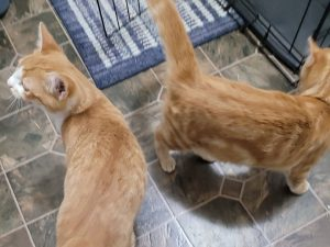 The brother-sister pair of orange tabbies will stay with the Smith family.
